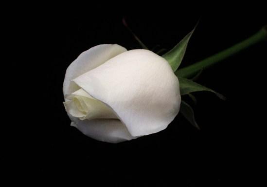 1.28.15.rose.jpeg